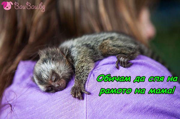 Спящо бебе мармозетка
