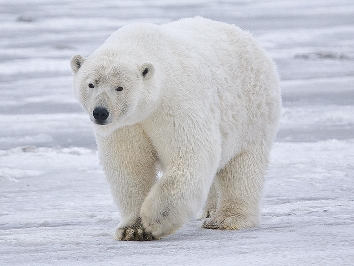 X Five Polar Bear Бяла (Полярн...