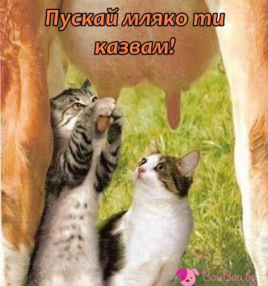 Ето как се дои крава!