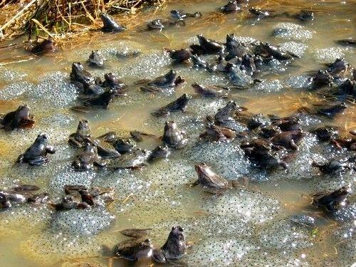 Жаби в размножителен период
