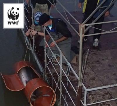 200-килограмова моруна в Дунав бе спасена от бракониери в спешна акция на WWF