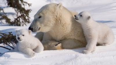 10 интересни факта за полярните мечки