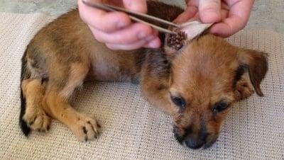 Как да премахнете кърлежите и бълхите от кучето?