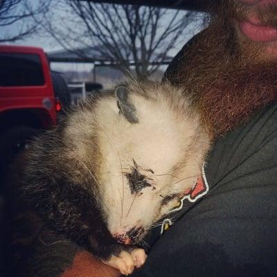 Бременен опосум бе намерен
