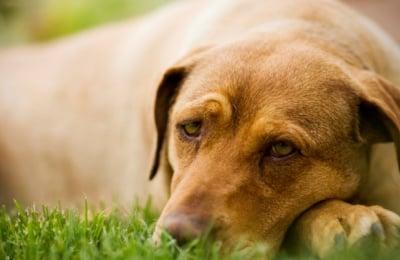 Лаймска болест при кучето