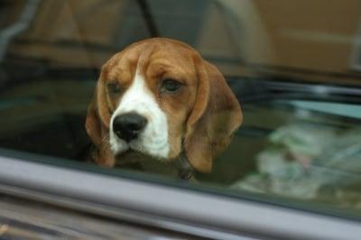 Защо не трябва да оставяте кучето само в автомобил?