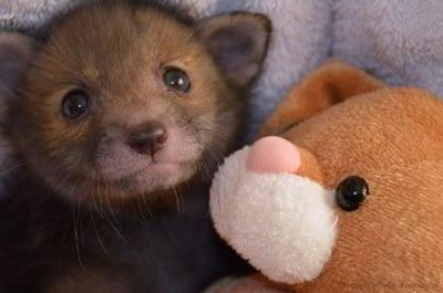 Лисиче в спасителен център обожава да се гушка със своя плюшен заек