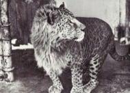 12 необичайни хибридни животни, които наистина съществуват