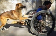 Предано куче помага на бедния си стопанин, като ежедневно бута инвалидната му количка
