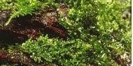 """""""Riccardia chamedryfolia"""" - Растение за аквариум"""