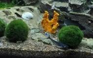 Cladophora aegagropila moss ball