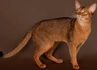 Абисинска котка
