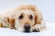 Амебиаза при кучето
