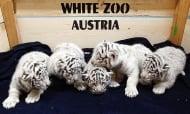 Австрийският зоопарк за пръв път показа новородените 5 бели тигърчета
