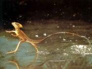 Животно, което върви по вода - Базилиск