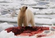80 полярни мечки се събраха около труп на кит