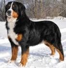 Бернско пастирско куче