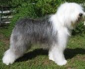 Бобтейл (Староанглийска овчарка)