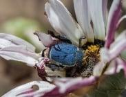 Колко дни живее бръмбар без глава?