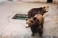 Британска организация спасява мечки от ужасните условия в България