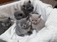 Сините къси котенца