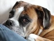 Хроничен гастрит при кучето