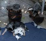 австралийски кетъл дог  Australian Cattle Dog