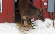 Двукрака крава направи първите си стъпки с протези