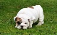 Английски булдог кученце