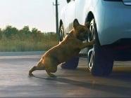 Френски булдог рекламира кола, правейки упражнения преди пътуването