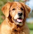 Как да се справите с болките и страданията на вашето възрастно куче?