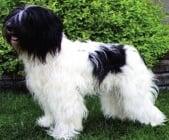 Холандско пастирско куче