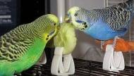 Хранене на вълнисти папагали в домашни условия