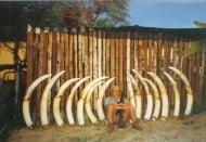 Хиляди слонове се избиват заради бивните им
