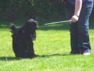 Обучение на кучето: Урок №3. Научете кучето да  докосва края на пръчка