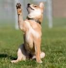 Обучение на кучето: Урок №21. Научете кучето да маха с лапа