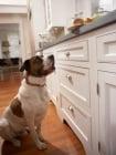 Обучение на кучето: Урок №23. Научете кучето да не се качва по мебелите, кухненския плот и др.