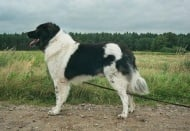 Каракачанка (Българско овчарско куче)