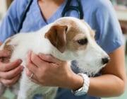 Кастрираните кучета живеят по-дълго ?!