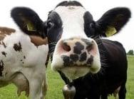 Кетоза при кравите