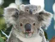 Австралийското правителство добави коалите в списъка със застрашени видове