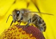 Кофеинът увеличава паметта на пчелите