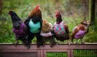 Жени плетат пуловери на възрастни кокошки и средствата даряват на сираци болни от СПИН