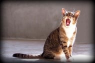 Колко гласни струни имат котките?