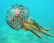 Колко вода има в медузите?