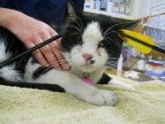 Котка се прибира вкъщи със забита стрела в главата