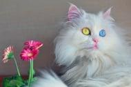 Котки с разноцветни очи - красота и мистика