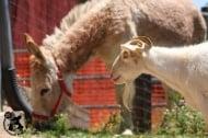 Коза се поболя от мъка по своя най-добър приятел - магаре