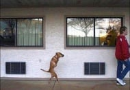 Куче без предни крайници работи в болници, като повдига духа на хора инвалиди