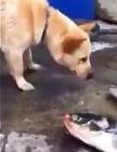 Куче със златно сърце спасява риби, изхвърлени на сушата